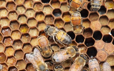 Humans are to blame for wiping out honeybees: Trading colonies infected with viruses and mites 'is creating an epidemic'