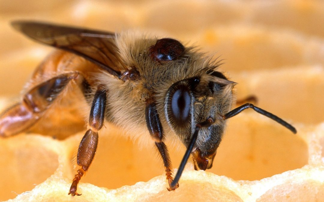 Honey Bee Diseases Guide